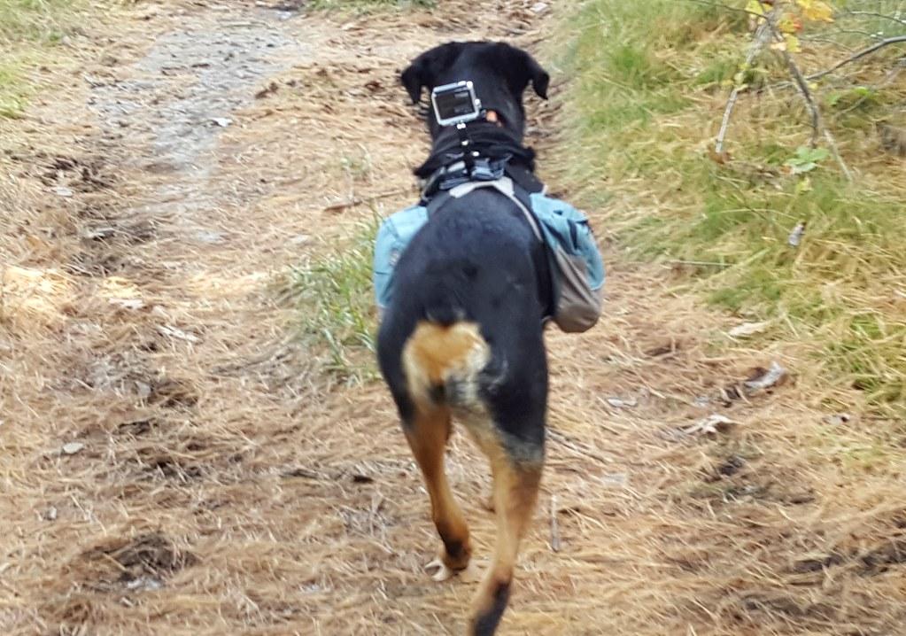 Rottweiler Sasha gopro outward hound
