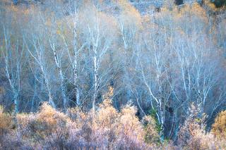 Bare Aspen in Blue Light, Rush Creek