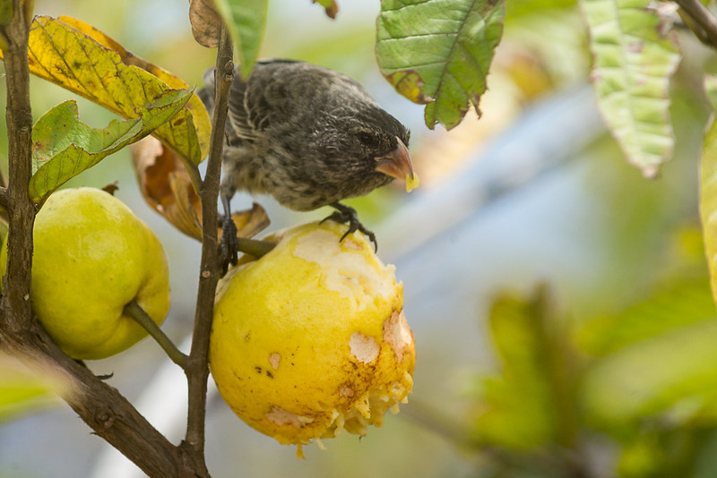 Darwin's finch (Geospiza sp.) feeding on guava (Psidium guajava)
