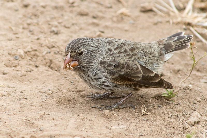 Darwin's finches (Geospiza sp.)