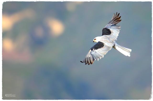 Elanio Coliblanco, Elanus leucurus, White-tailed kite. Urcuqui, Imbabura, Ecuador.