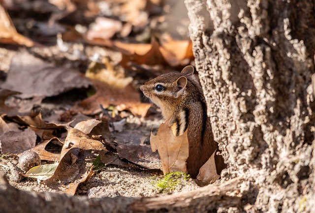 Chipmunk sheltering with leaf