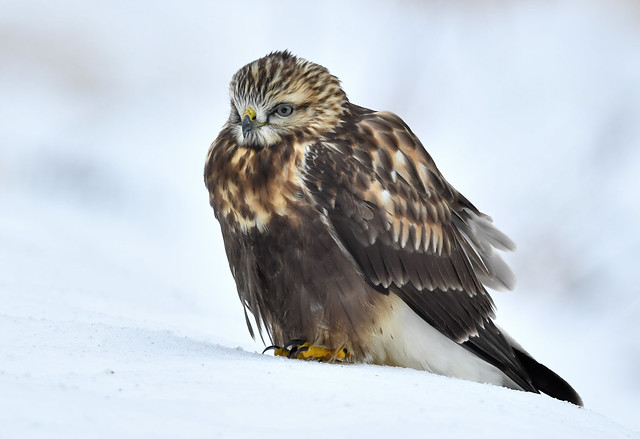 Buse Pattue - Rough-Legged Hawk