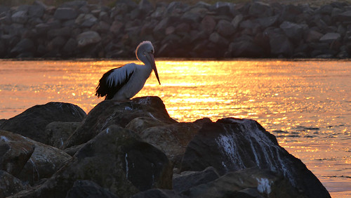 Pelican at sunrise | by ozzie_traveller