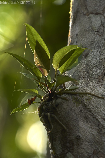 Orchid epiphyte
