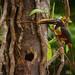 Chestnut-eared aracari- Pteroglossus castanotis