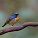 黃胸青鶲 Snowy-browed Flycatcher