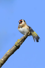 Cadernera - Chardonneret élégant - Carduelis carduelis - European goldfinch