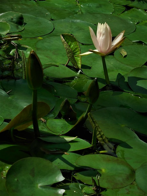 the shy waterlily