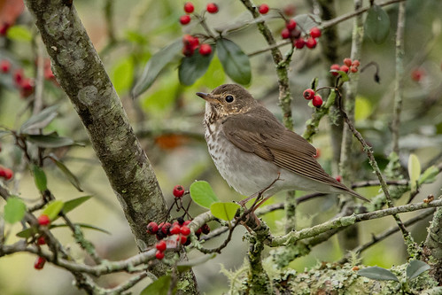 Swainson's thrush during migration -EXPLORED 11/11/2019-