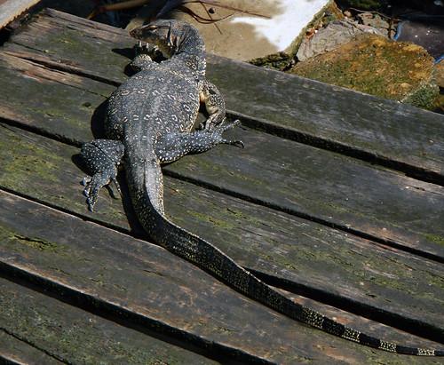 A Monitor lizard on a Melaka canal, Melaka, Malaysi