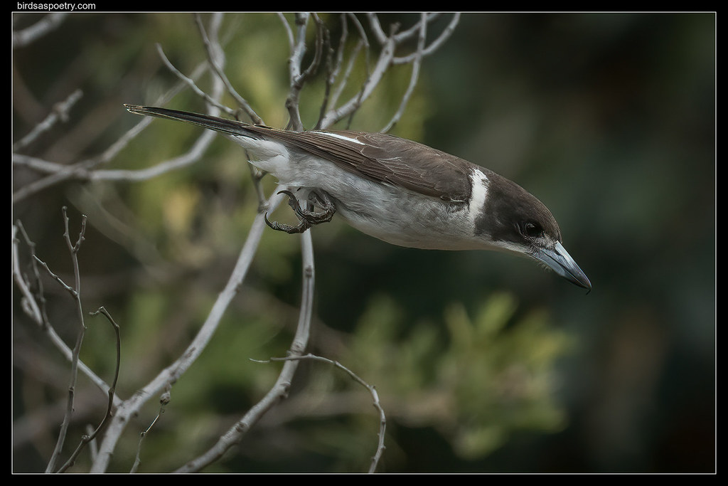 Grey Butcherbird:: Free Fall