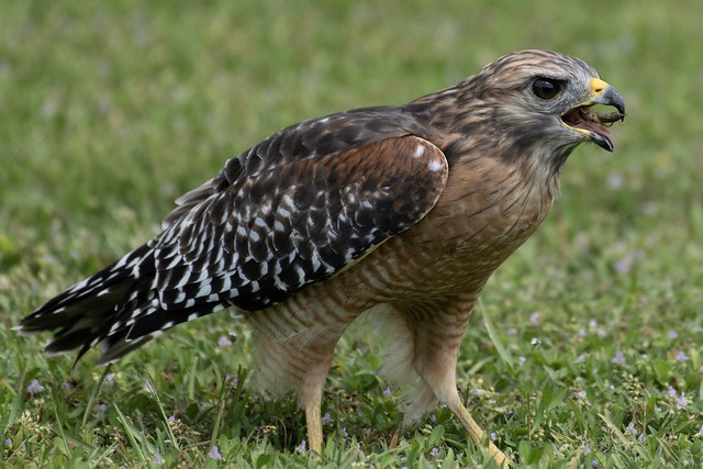 Red Shouldered Hawk.. with an afternoon snack