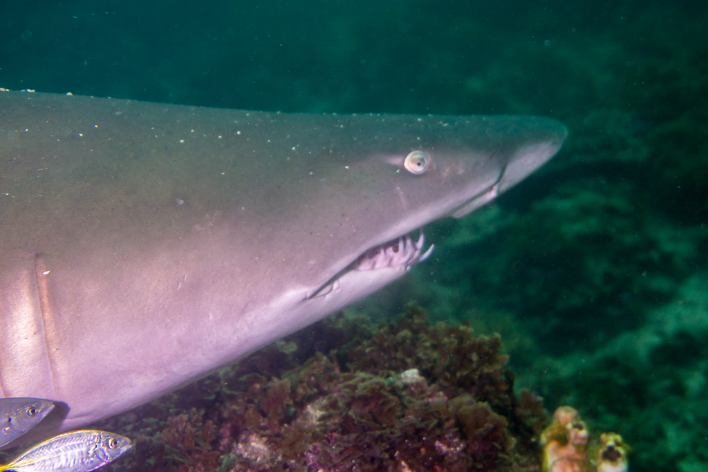 Grey Nurse Shark (a.k.a. Sand Tiger)