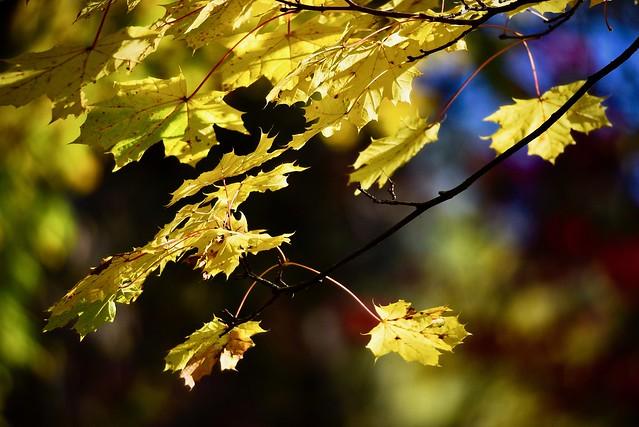 _DSC9524 Autumn gold