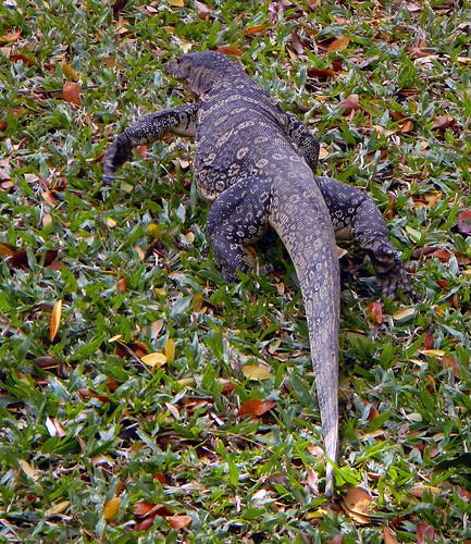 A Monitor Lizard at a Bangkok Park in Thailand