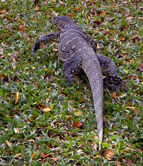 A Monitor Lizard at a Bangkok Park in Thailand