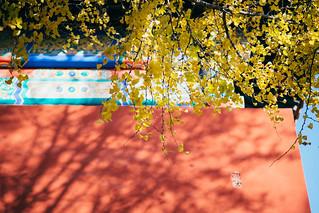 Ginkgo biloba in Forbidden City