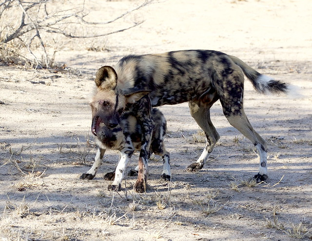Stop...that...now!! - An adult Cape wild dog (Lycaon pictus pictus) disciplining a puppy