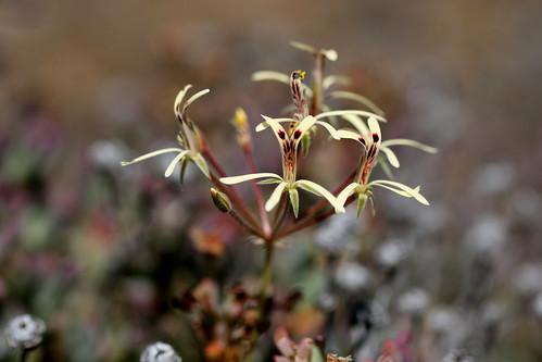 Pelargonium aristatum in habitat