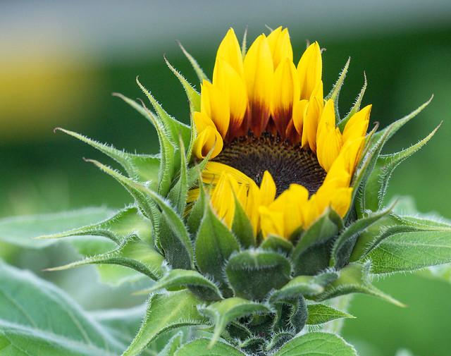 Sunflower (11/11 #1)