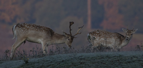 deers wildlife frosty nature morning