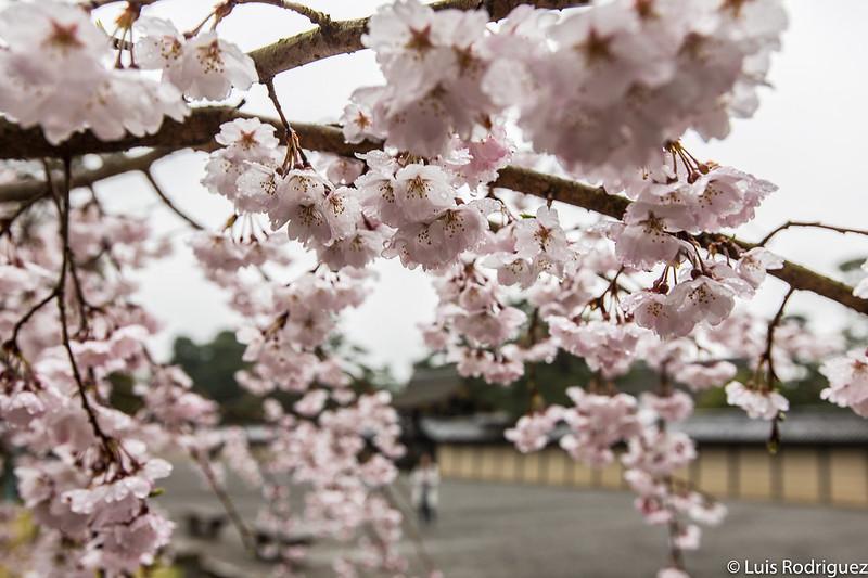 Cerezos en el jardín del estanque Konoe