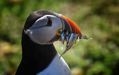 Gorgeous Puffin with Sandeels.