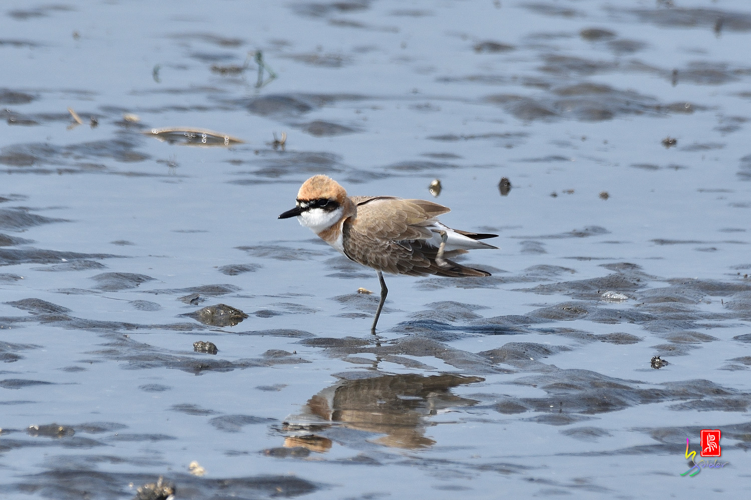 Greater_Sand_Plover_5222