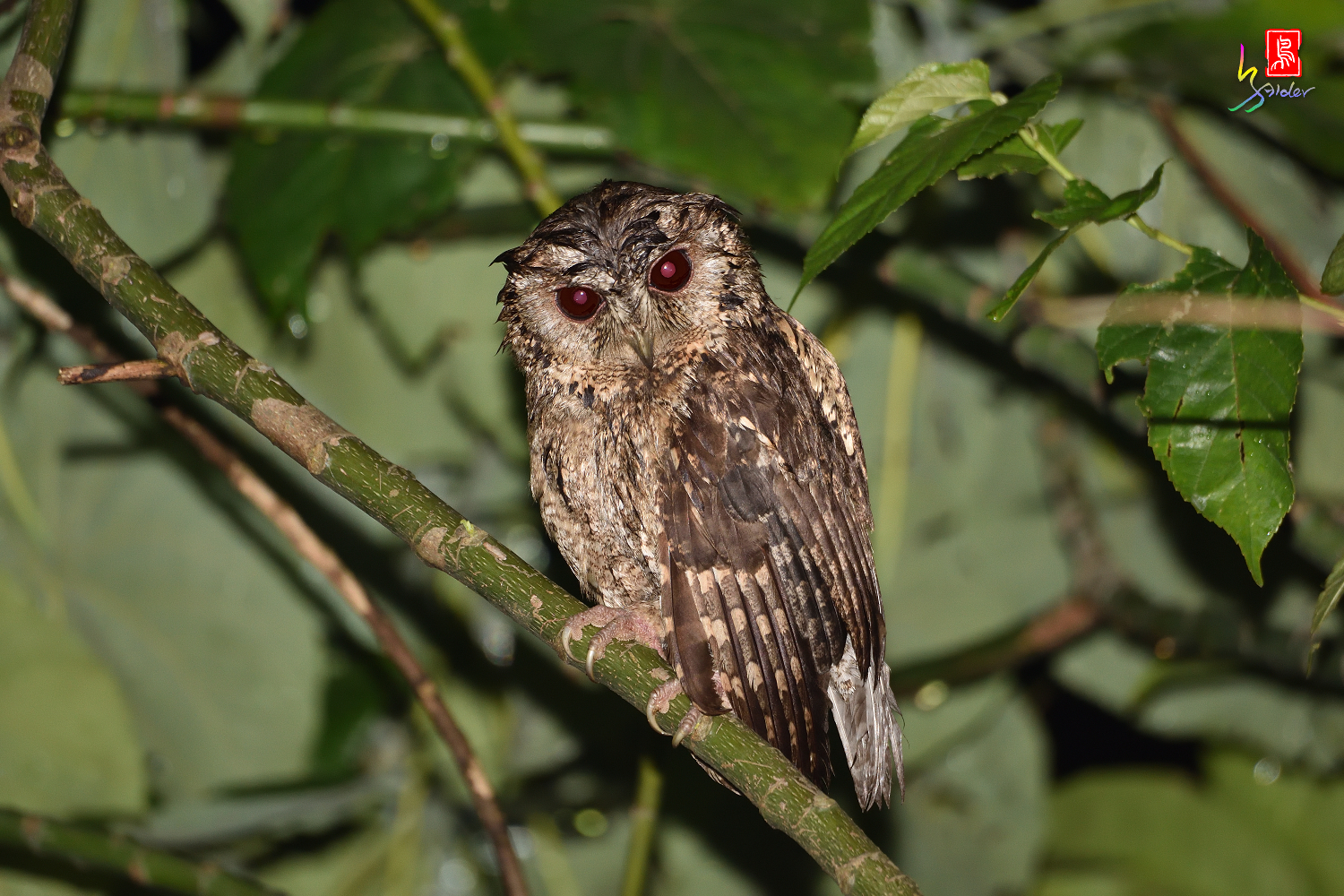 Collard_Scops_Owl_1522