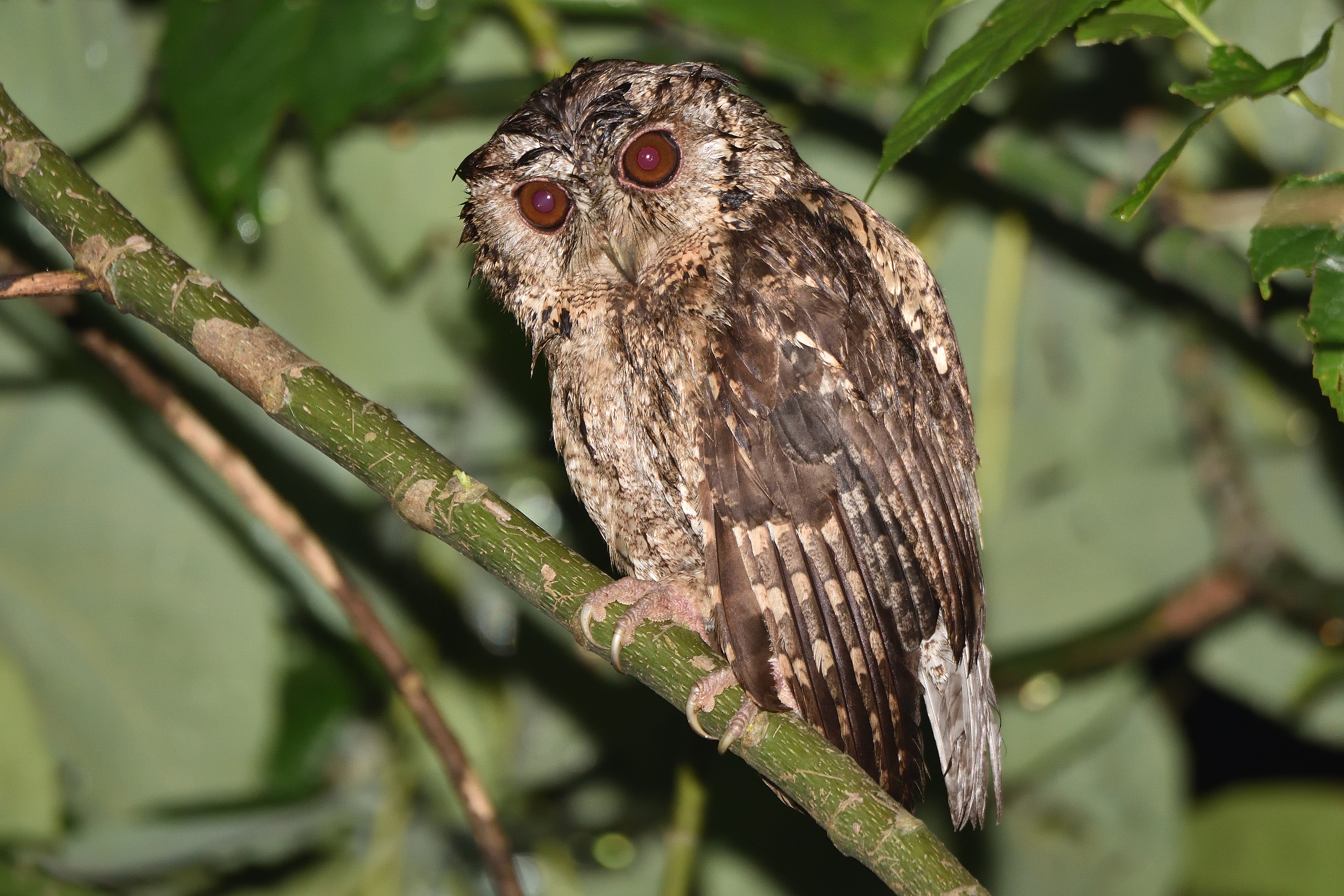 Collard_Scops_Owl_1519_2400