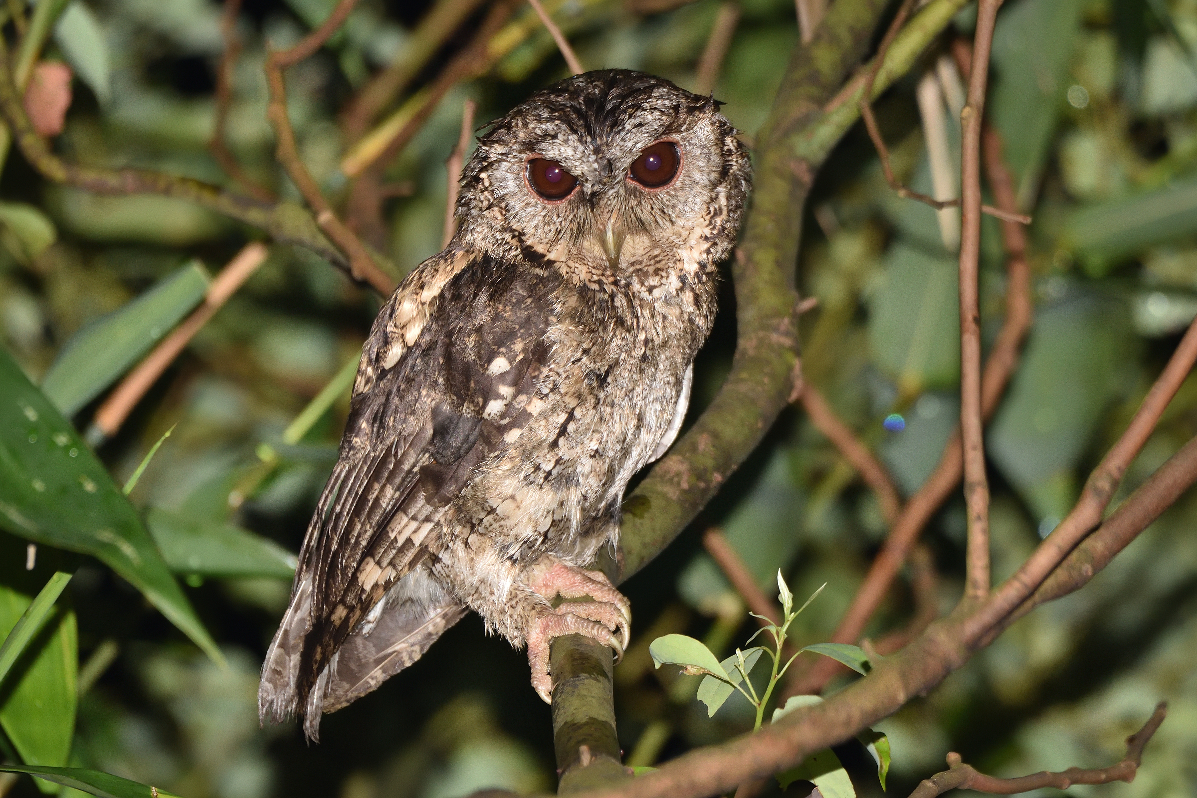 Collard_Scops_Owl_1484_2400