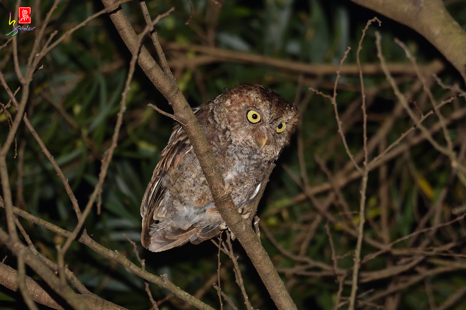 Moutain_Scops_Owl_3541