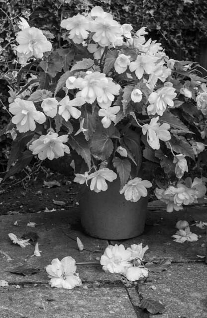 Begonia (mono version)