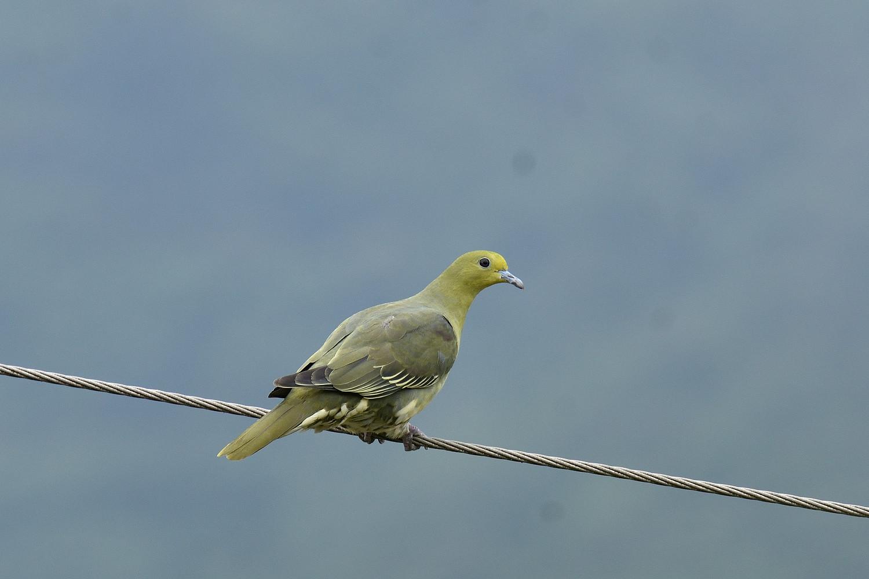 Green_Pigeon_0638