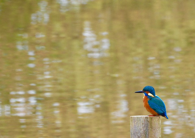 Reflection - Kingfisher (Alcedo atthis)