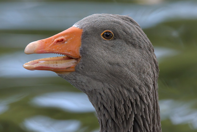 Grey goose portrait (2/3) : the teeth of the goose