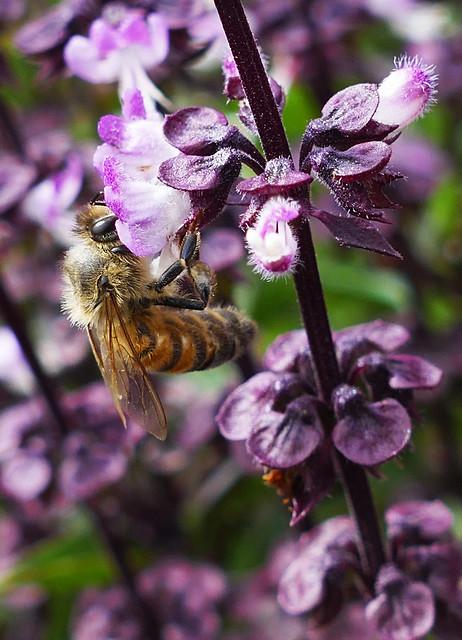 Pedigree honeybee (Ligurian)