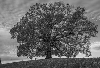 The Mighty Oak | by Clyde Cornett