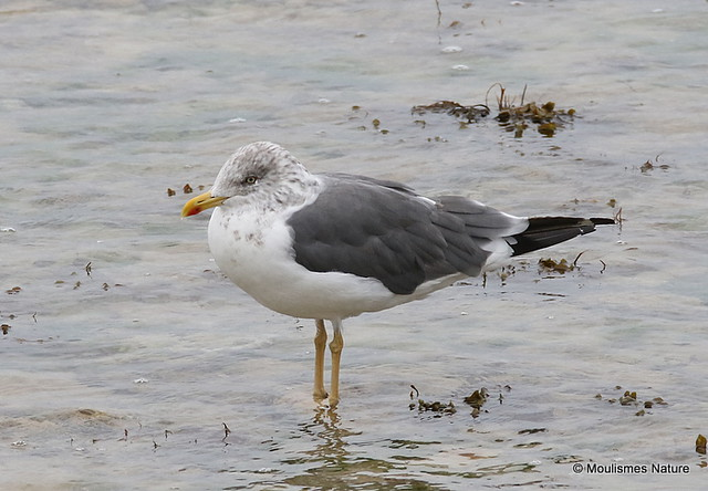 0S8A6987X. Lesser Black-backed Gull (Larus fuscus) ad-winter