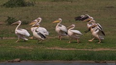 IMGP0990 Pelican's parade