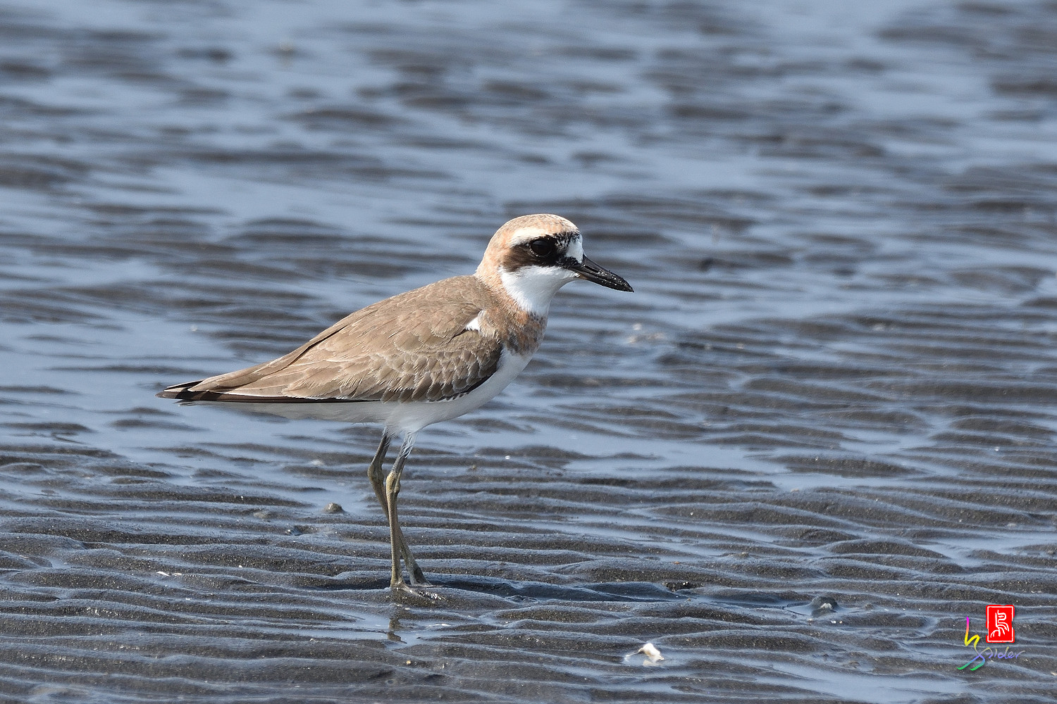 Greater_Sand_Plover_5267