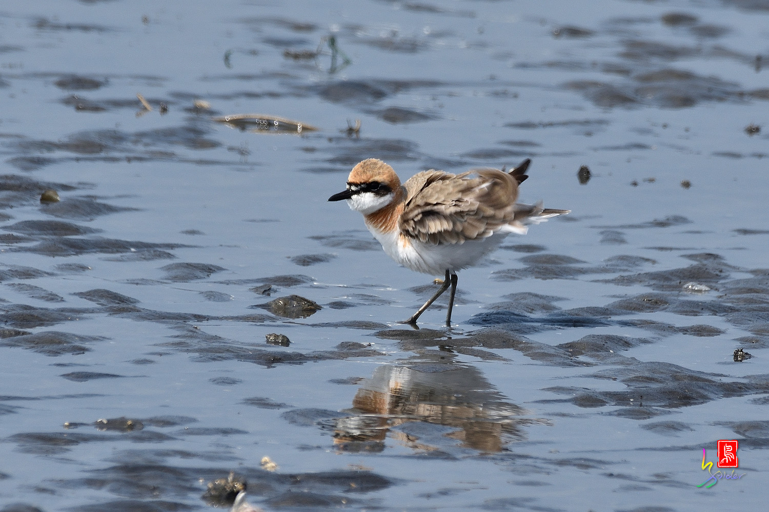 Greater_Sand_Plover_5228