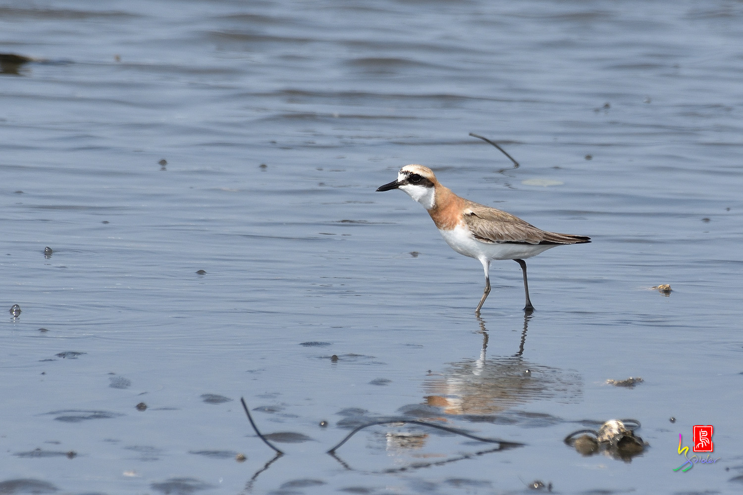 Greater_Sand_Plover_5148