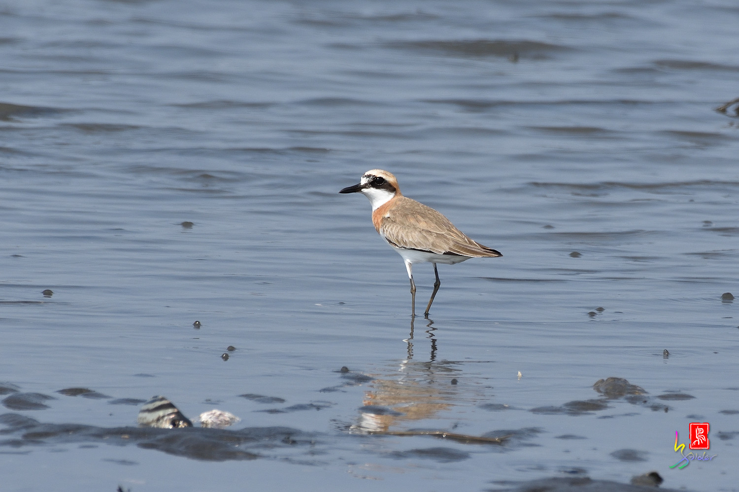Greater_Sand_Plover_5137