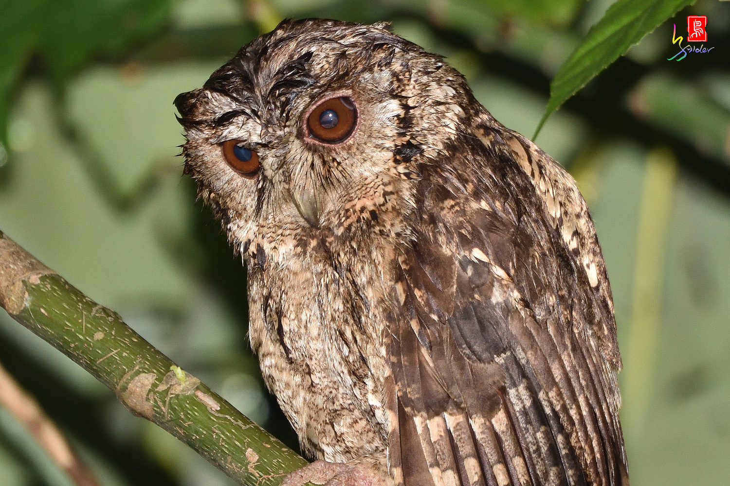 Collard_Scops_Owl_1515