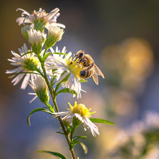 Acro-bee | SONY ⍺7RII & Sigma FE 1.4/50 Art