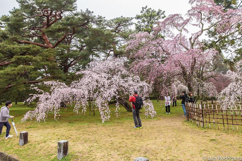 Cerezos en el parque Konoe