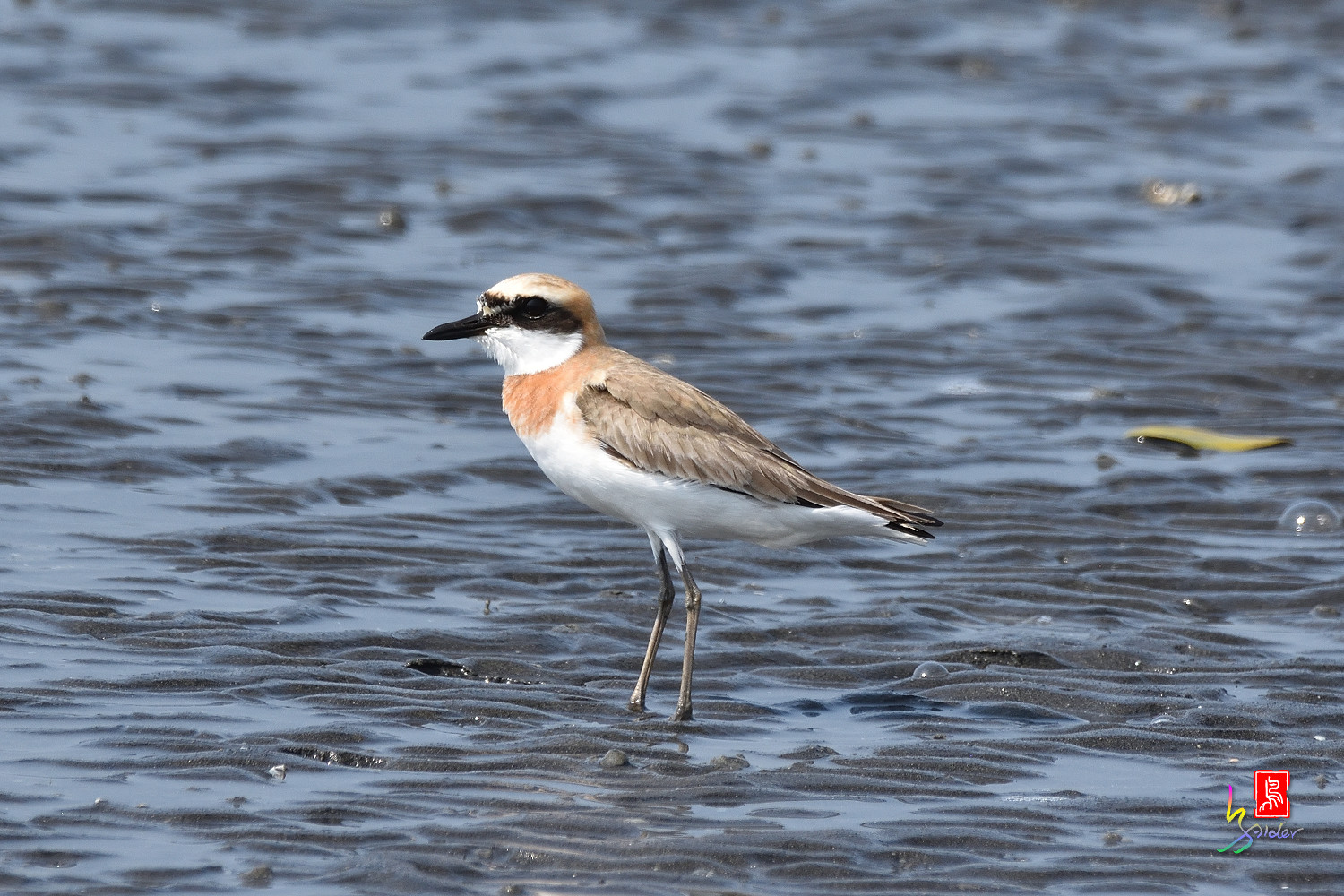 Greater_Sand_Plover_5278