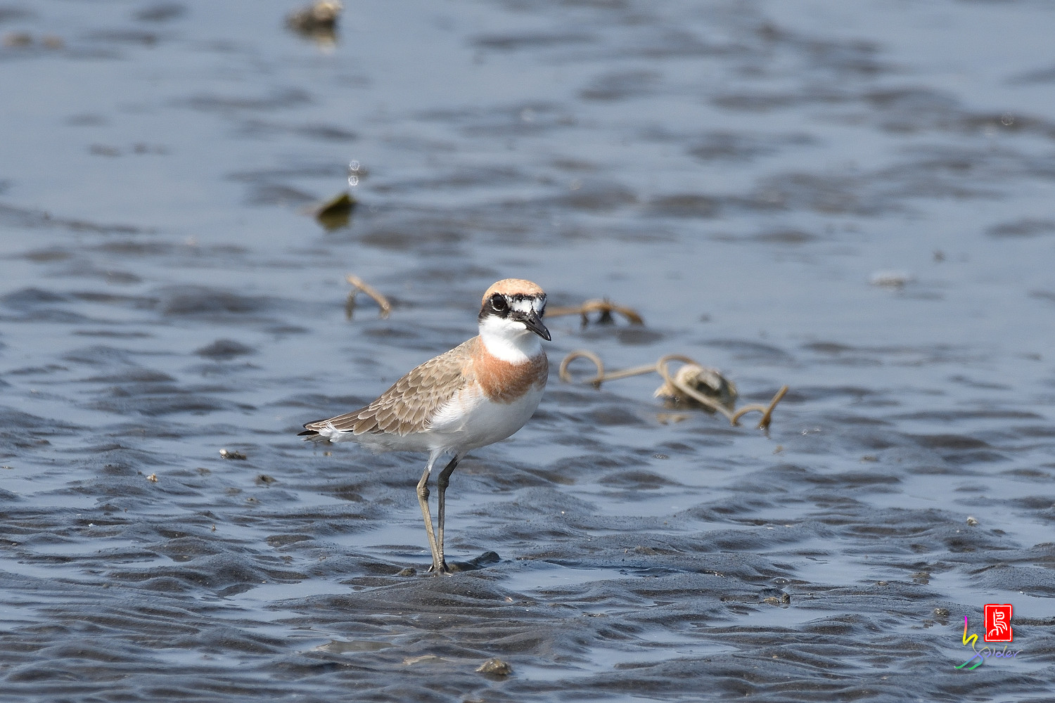 Greater_Sand_Plover_5243
